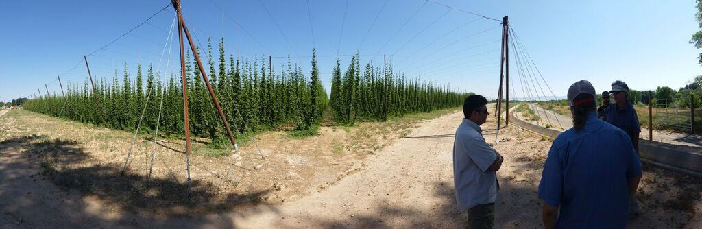 Our Hops Photo 2